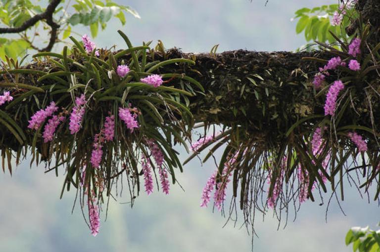 Aerides multiflora in the wild, Uttarakhand. (Photo: Bala Kompalli).