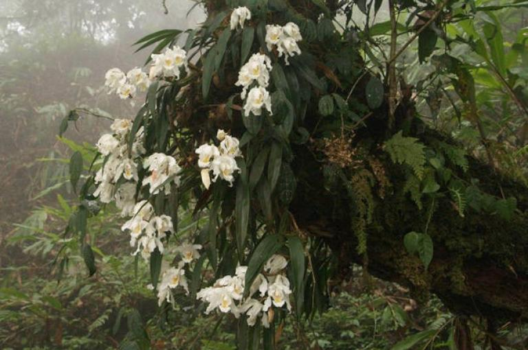 The large frilled white blooms of Coelogyne cristata have a golden yellow throat (Image: L. Gardiner).