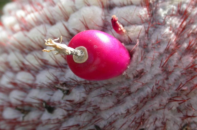 Image showing fruit of native Melocactus intortus collected for ex-situ conservation