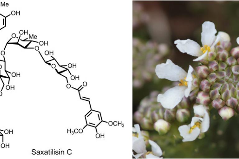 Image of Iberis saxatilis and the structure of one of the large flavonoid glycosides