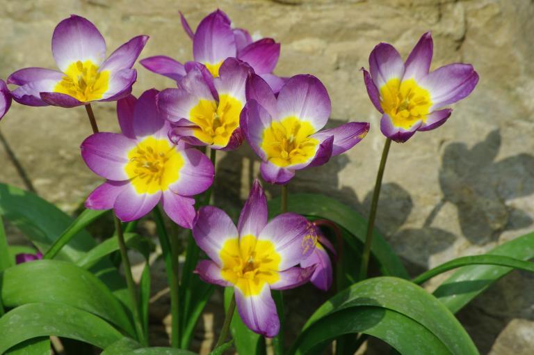 Photo of Tulipa saxatilis