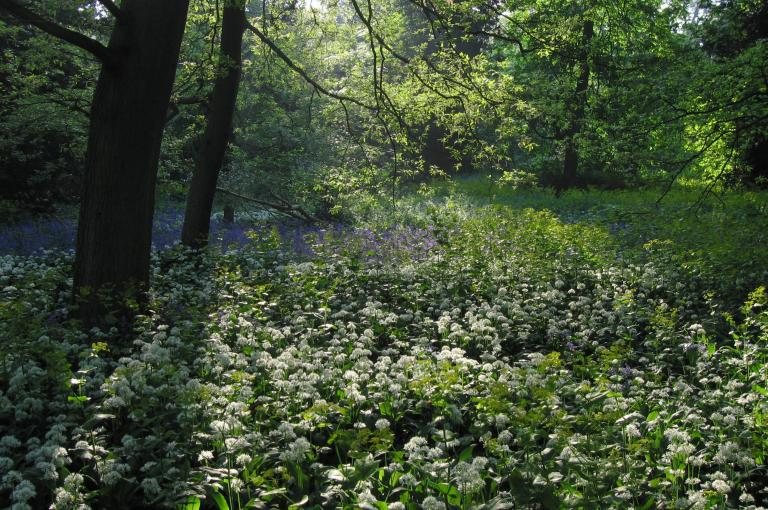 Bluebell wood at Kew