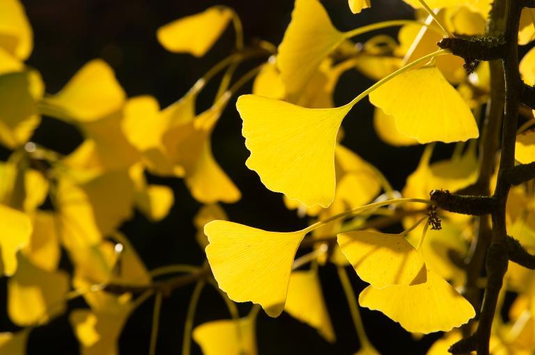 Ginkgo biloba autumn leaves