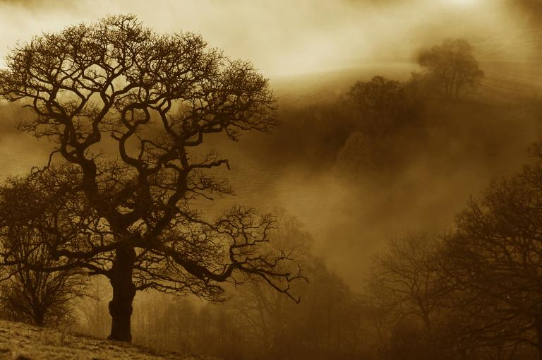 A photograph of an oak tree from the exhibition 'Celebrating our Oaks'