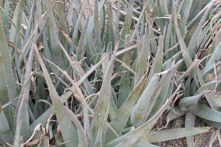 Aloe vera (Credit: Olwen Grace)