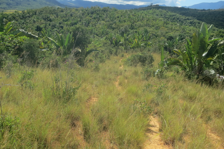 Image showing that Madagascar's pastures are viewed as degraded anthropogenic vegetation but this disturbed ecosystem in Ankaramy Be is dominated by native and endemic grasses.