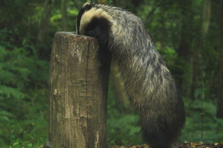 Badger at Wakehurst