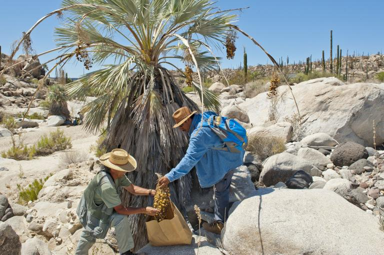 Collecting seed of Brahea armata (blue hesper palm) endemic to Baja California (Image: W.Stuppy)