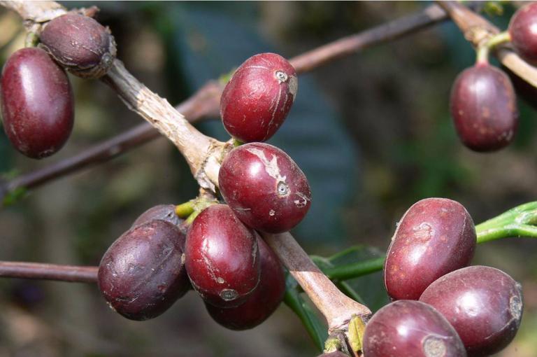 Coffea arabica fruits, known by coffee farmers as 'cherry' (Photo: A.P.Davis)
