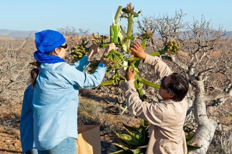 Collecting seed of Agave schawii ssp. goldmaniana for the Millennium Seed Bank Partnership, Baja, Mexico (Photo: Wolfgang Stuppy)