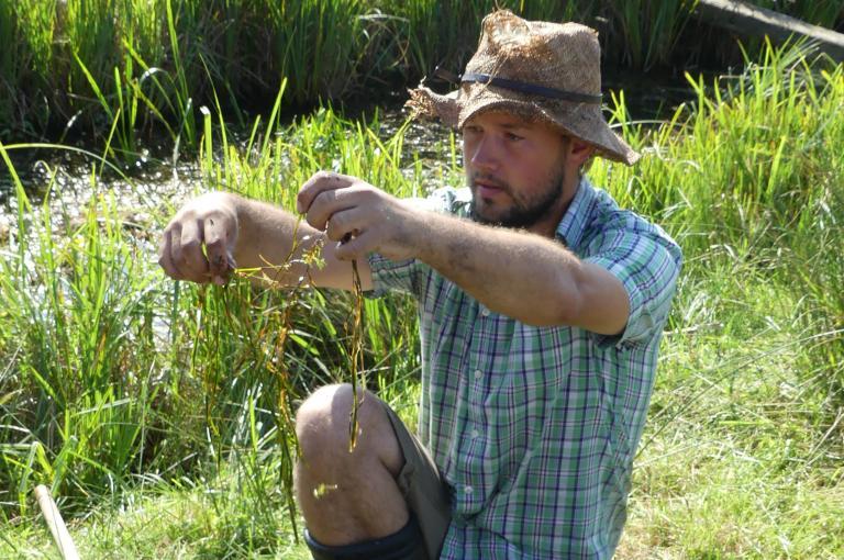 Collecting Potamogeton acutifolius, Norfolk