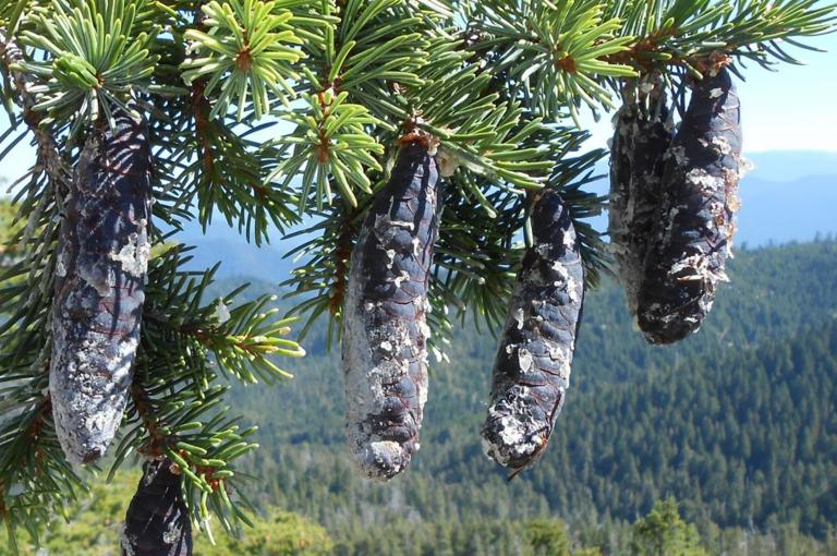 Cones of Picea breweriana (Credit: M.Way)