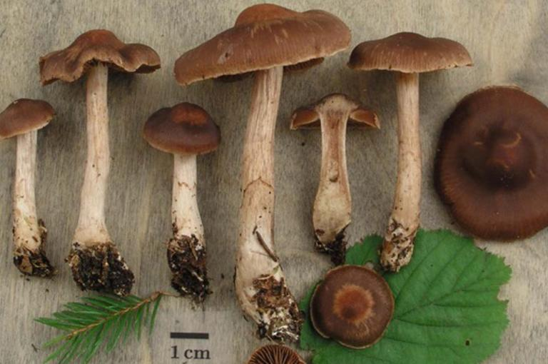 Cortinarius uraceisporus, a webcap recently described as new to science from Finland (Photo: K.Liimatainen)