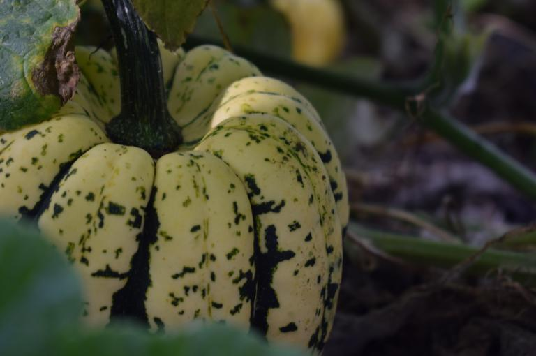 Pumpkin in the Kitchen Garden