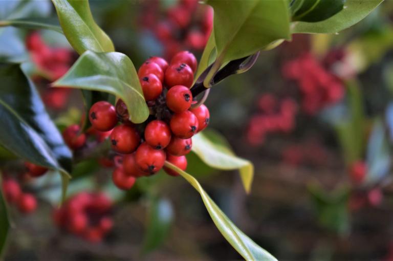 Holly berries at Kew