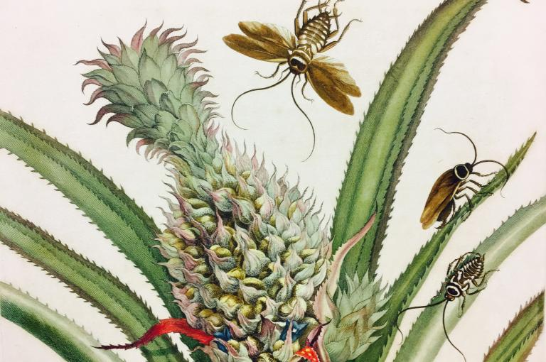 Plate 1 of Metamorphosis Insectorum Surinamensium depicting pineapple illustration, 1705.