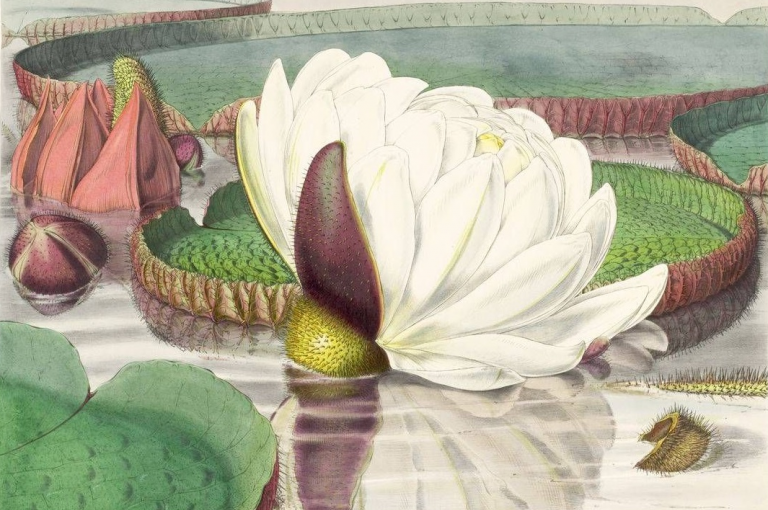 Fitch Illustration of the white and pink flowers of the Victoria amazonica