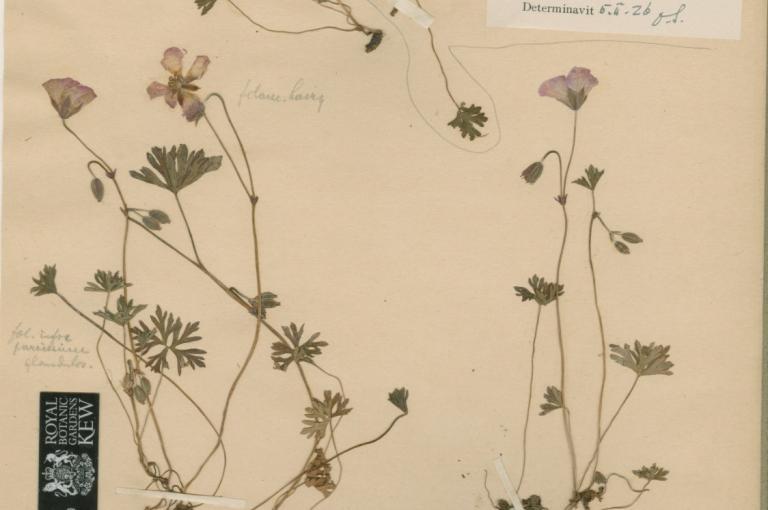Photo of Geranium farreri specimen from Kew's Herbarium