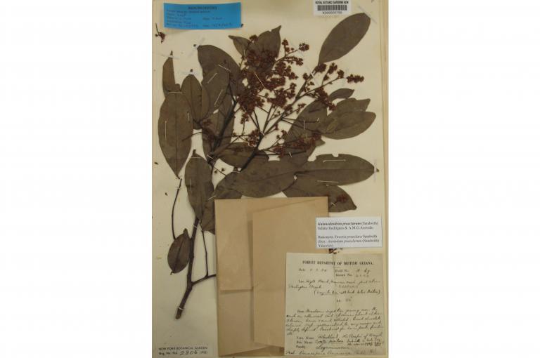 Image of herbarium specimen of Guianodendron praeclarum