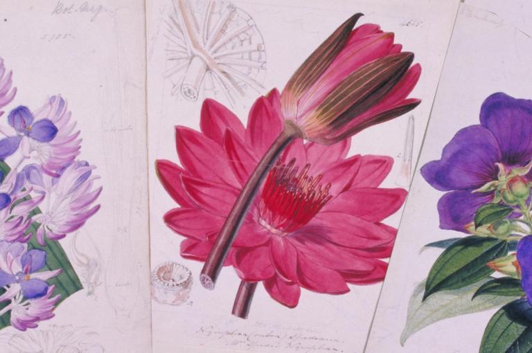 Botanical illustrations from Curtis's Botanical Magazine
