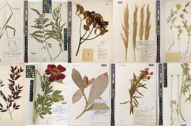 Image showing Digitised specimens from Kew's Herbarium