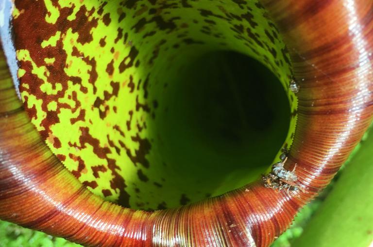 Carnivorous plant at Kew