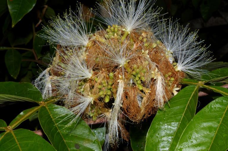 Inga edulis in flower (Photo: G Lewis)