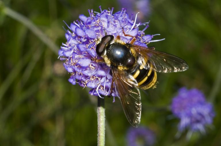 Pollinator on flowers