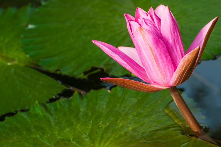 Waterlily in the Waterlily House