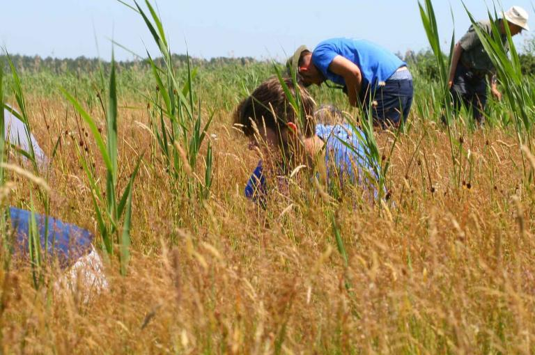 Volunteers surveying for the rust fungus Puccinia scorzonerae on Scorzonera humilis (viper's-grass) (Photo: T. Wilkins)