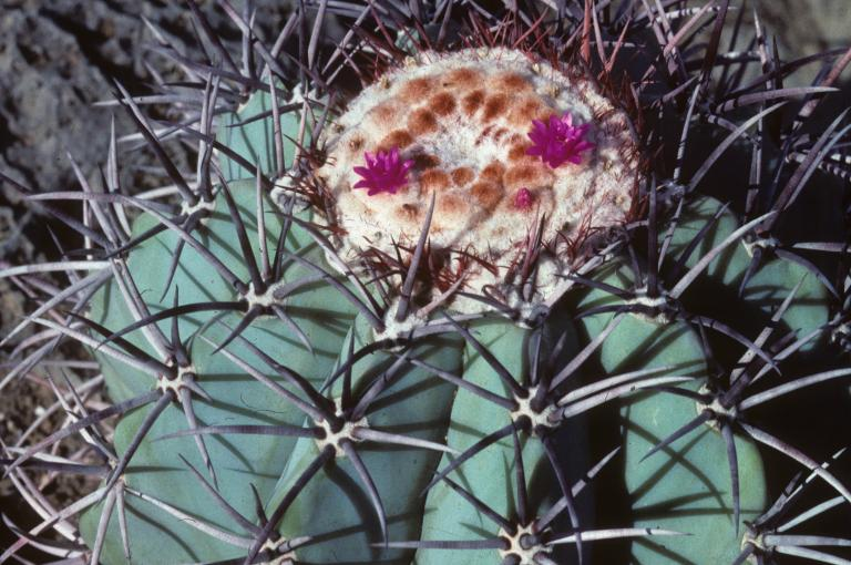 Melocactus azureus grows on limestone outcrops in Bahia and is Critically Endangered (Photo: N.P. Taylor)