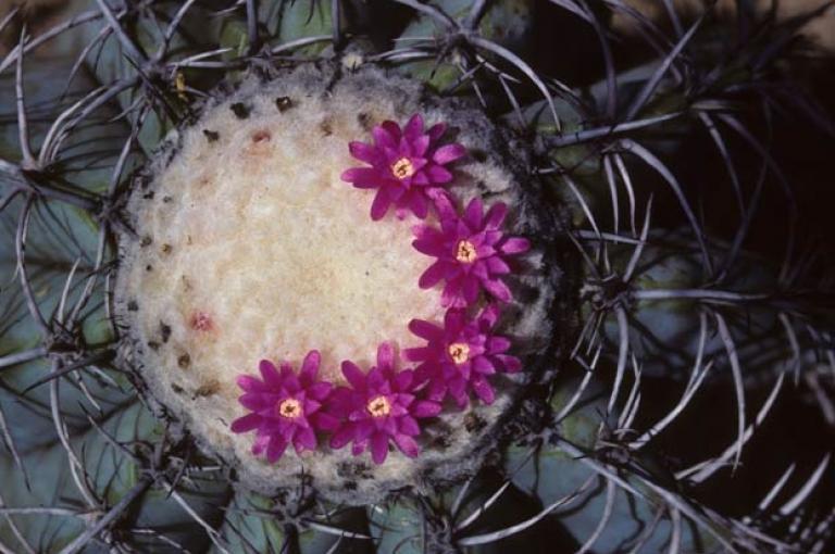 Photo of Melocactus glaucescens