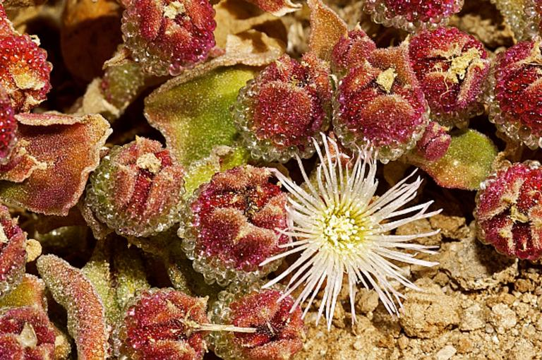 Mesembryanthemum crystallinum (Aizoaceae) plants growing in Mexico (Image: W. Stuppy)