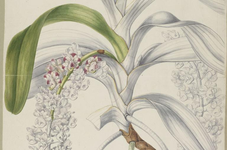 A plate for Sertum Orchidaceum entitled Aerides quinquevulnera by Sarah Anne Drake (1803 - 1857)