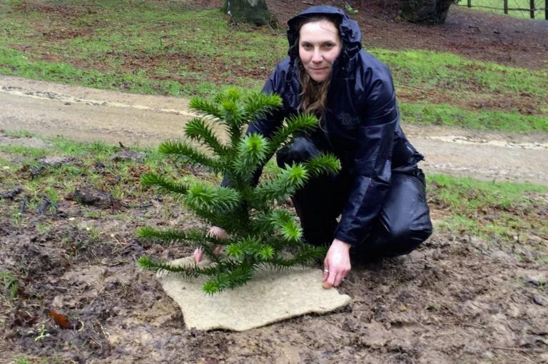 Monkey puzzle planted at Wakehurst by Jo Wenham