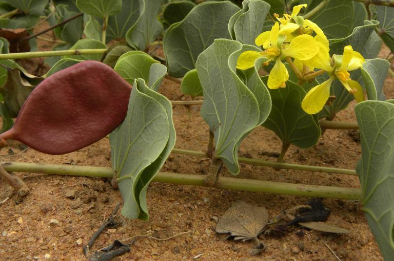 The Marama bean, Tylosema esculentum (Photo: T.Ulian)