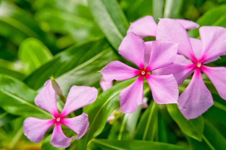 Image showing Madagascar periwinkle (Catharanthus roseus)