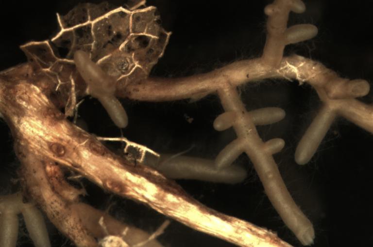 image showing Mycorrhizas of false truffles (Elaphomyces spp.)
