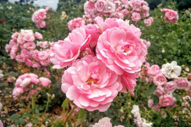Rosa 'Bonica' in the Rose Garden at Kew