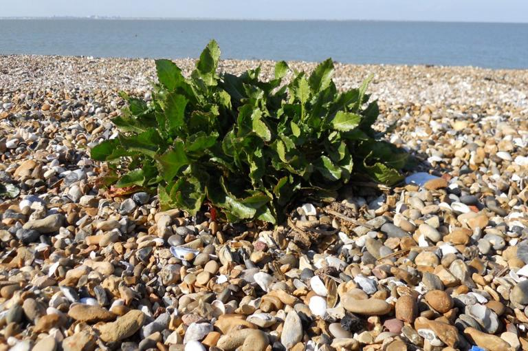 Sea beet (Beta vulgaris subspecies maritima) growing on a shingle beach (Image: M.Chester).