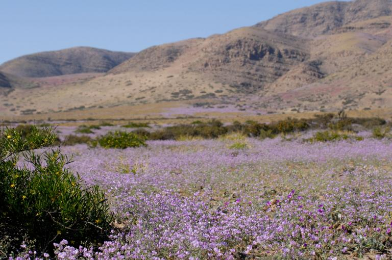 Shrubs of Skytanthus acutus (Apocynaceae) in the flowering desert, June 2015 (Photo: M.Way)