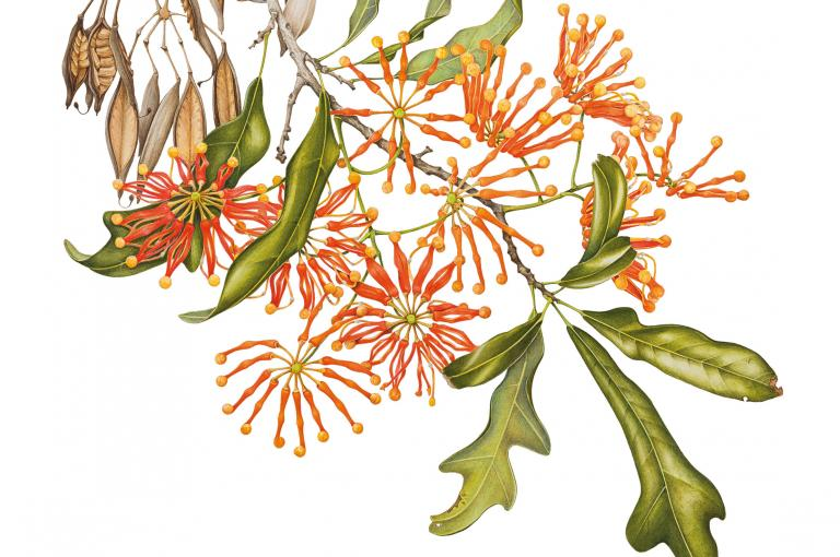 An illustration of Stenocarpus sinuatus by Angela Lober