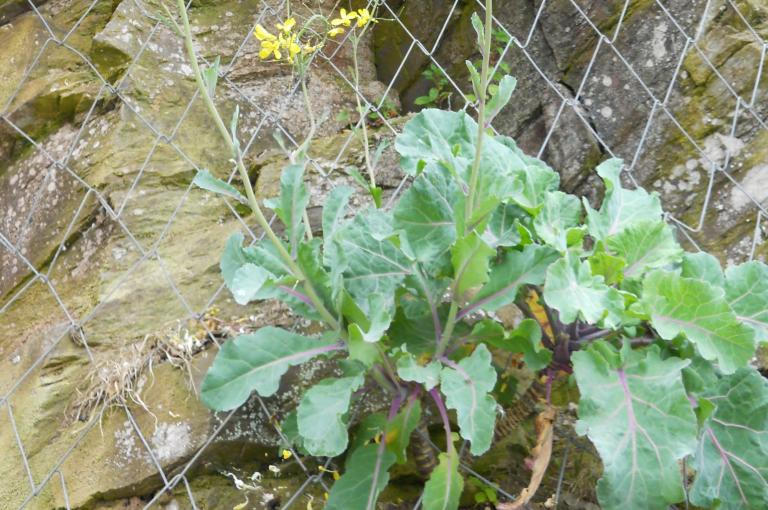 Brassica oleracea growing on a cliff edge in Cornwall (Image: M. Chester)