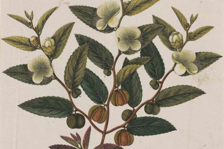 A photograph of a tea plant