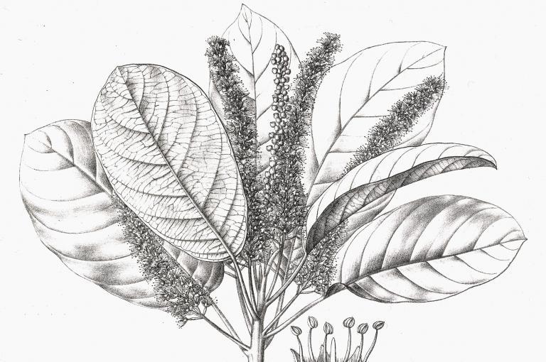 Pen and ink drawing of Terminalia chebula