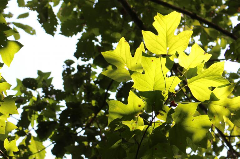 Liriodendron tulipifera, an eastern North American representative of the magnoliid clade. (Photo: Wolf Eiserhardt)