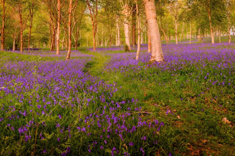Bluebells at Wakehurst