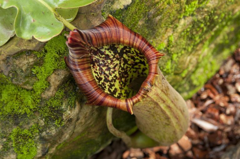 Weird plants - Nepenthes truncata