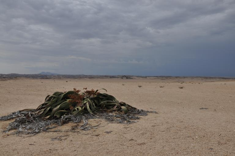 Photo shows a Welwitschia plant growing flat against the sandy ground