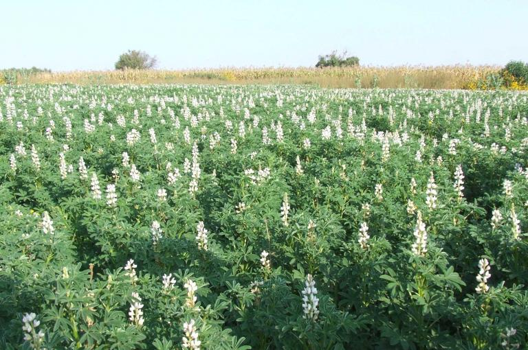 Image showing a White lupin field in Amhara region of Ethiopia. Photo by Heather Sanders